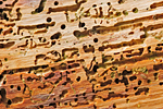 photo of Woodworm